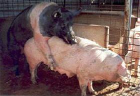 Manejo básico de cerdos: el verraco – 2 – verracos nuevos - El ...