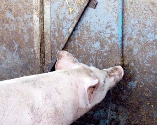manejo-de-primerizas-el-sitio-porcino-chris-wright