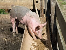 Cáscaras de frutos del Pacífico para alimentar cerdos